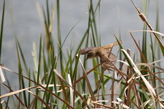 Australian reed warbler in flight (kasia-aus) Tags: bird reed nature water animal reeds wings flight australia canberra warbler 2013