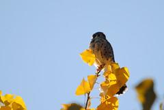 American Kestrel (timustache) Tags: sunset bird fall westminster leaves colorado americankestrel falcosparverius