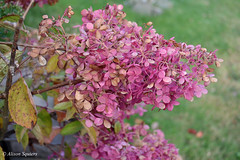 Oct hydrangea.jpg (mamanat - Alison Squiers Photography) Tags: pink flowers elements hydrangea