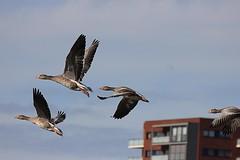 Final approach (cees van gastel) Tags: seagulls nature birds vlucht flight vogels natuur vliegen zeemeeuwen ceesvangastel canoneos550d tamronsp70300f456divcusd