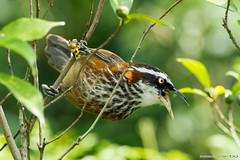 A57-2-05488 (Eagle 100,000+ view) Tags: streakbreastedscimitarbabbler 小彎嘴 sal70400g slta57 sal70400g2