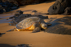 On the Beach (mojo2u) Tags: sunset hawaii turtle maui kaanapali nikond800 nikon28300mm