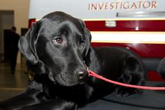 Accelerant Detection Dog Gibbs introduction-7759 (City of Calgary) Tags: calgary fire tony calgaryfire accelerantdetectiondoggibbsintroduction