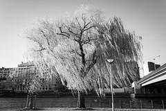 (idiotsarewinning) Tags: street bw white black paris iso200 raw noir windy nb willow f71 blanc weeping salix laseine saule pleureur babylonica canon400d