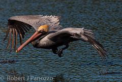 The Wing Dipper (ChicagoBob46) Tags: bird pelican sanibel sanibelisland brownpelican autofocus thewondersofnature avianexcellence jndingdarlingnwr mygearandme mygearandmepremium mygearandmebronze mygearandmesilver mygearandmeplatinum allnaturesparadise