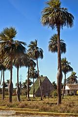 Las barrigonas (Photo.rfd) Tags: field rural landscape nikon cuba paisaje palmeras campo nikor barrigonas pinardelrío d5200