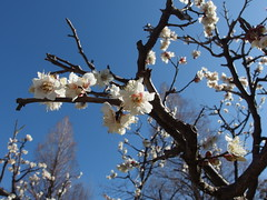 Plum trees in bloom @ Sumida River @ Asakusa (*_*) Tags: city pink blue winter sky white cold flower tree japan river tokyo spring asia walk plum sunny bloom february asakusa ume sumida kanto 2014
