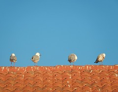 Gulls on Tiled Roof (mikecogh) Tags: roof seagulls tiles perch