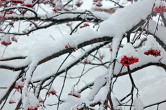 equilibrio naturale (cristianolamantia) Tags: winter snow tree barry neve albero bacche bacca barries canon550d