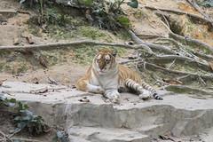 Tiger (kenjikwong) Tags: sony olympus fullframe om zuiko f4 a7 200mm manuallens mirrorless om200mmf4 olympus200mmf4 ilce7