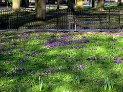 Blackheath RS Already spring flowers! (Julie70 Joyoflife) Tags: flowers blue london fleurs spring many crocus bleu londres neighbourhood fevrier nearby photostroll photojuliekertesz midfebruary wholelotofflowers springwalksinlondon springflowersinfebruary
