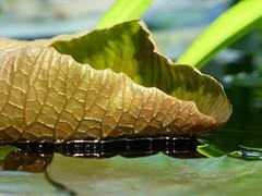 Curl (KaDeWeGirl) Tags: newyorkcity green garden botanical leaf lily bronx pad curl nybg tropicalparadise tp2014wk6