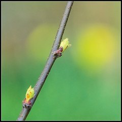 More Buds (spodzone) Tags: trees two colour art nature lines weather composite composition manipulated square lens photography scotland spring flora dof message dynamic emotion affection unitedkingdom bokeh space small seasonal angles places diagonal equipment story negativespace filter numbers zen complexity growing bud colourful anticipation favourite simple toned pure contrasts portpatrick minimalist stacked quince elegance hopeful dumfriesandgalloway gbr digikam tonemapped shapeandform rawconversion sharpsoft enfuse rawtherapee meaningemptiness darktable abstractqualities satoripunctum digitallowpass sony55210mm