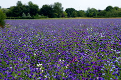 Purple meadow. (pstone646) Tags: flowers flora purple nature field landscape dof kent trees colour
