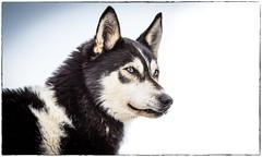 Eros! (ラルフ - Ralf OFFLINE) Tags: inzell bayern germany de husky dog hund schlittenhunderennen europameisterschaft outdoor snow
