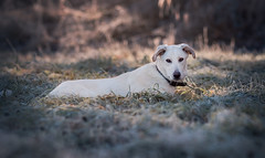 Cold Morning (Shanaro) Tags: winter cold frost frosty breath golden light morning sunrise beautiful calm blue ice bokeh meadow grass nature green white dog canine mammal animal photography pets cute puppy outdoor portrait rescue germany mutt mixbreed shepherd labrador hund haustier lying rest canon 700d 135mm l