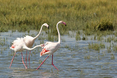 Flamingo - Phoenicopterus roseus - Greater Flamingo (merijnloeve) Tags: southafrica south africa zuidafrika zuid afrika birds sa flamingo phoenicopterus roseus greater westcoast national parc np birdwatching water bird
