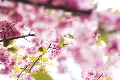 Le printemps (Aurélie Marinoni) Tags: flowers spring pink cherryblossom cerisier alsace france nature wild photography love tree cherry forest wood photo photographie colors 50mm bookeh