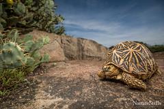 Indian Star Tortoise (Geochelone elegans) (NatureStills) Tags: geocheloneelegans indianstartortoise reptile srilanka yalanationalpark colorful herpinhabitat threatened tortoise turtle vulnerable wideangle wildlife