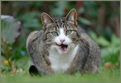 Garden time ... (Jan Gee) Tags: poeka cat chat poes katze gata gato gatto tabby garden tongue grey