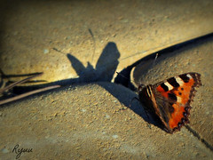 """butterfly thinking: """"who are you?"""" seeing his shadow (Ola 竜) Tags: butterfly shadow insect nature animal portrait light sunny shadowplay macro bokeh focus ground lowpov perspective pavement pavingstones sunlight colorful wings spring fz200 orange wing red hairy furry creature dof"""