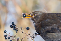 Berries! (P & Y Photography) Tags: nature animal bird portrait blackbird berries eating bokeh black fruit feather detail canon 5diii 5d3 100400