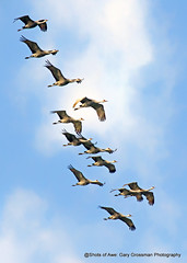 Tight Formation (Gary Grossman) Tags: sandhillcranes flight flying garygrossmanphotography birds spring wild wildlife wildlifephotography birdsasart art nature natural pacificnorthwest