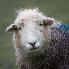 Charlotte (Willem Eelsing) Tags: herdwick herdy cumbria langdale england lakedistrict uk chapelstile sheep ewe
