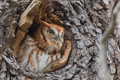 """O Romeo"" (Eastern Screech Owl) (Jesse_in_CT) Tags: easternscreechowl nikon200500mm"