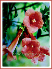 Macro shot of captivating flowers of Russelia equisetiformis (jayjayc) Tags: flickr17 jaycjayc russeliaequisetiformis red scarlet shrubs malaysia kualalumpur flowers floweringplants firecrackerplant coralfountainplant coralblow fountsinplsnt