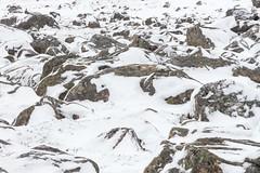 Ptarmigan (James Shooter) Tags: wideangle winter nature cairngormsnationalpark grouse native snow camouflage scotland march upland lagopusmuta cairngorms ptarmigan mountainous snowy nationalpark wildlife environmental mountain