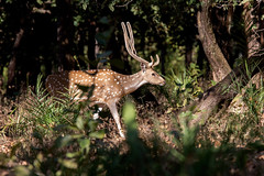 Spotted Deer (Thomas Retterath) Tags: 2017 natur nature india indien asia asien kanha thomasretterath wildlife baum axisaxis chital axishirsch hirsche cervidae pflanzenfresser herbivore säugetier mammals animals tiere spotteddeer