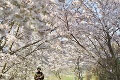 sakura2017 (so1low_at_tan5) Tags: sakura 桜 桜並木 takumar55mmf18 xe1