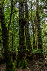 Along the track through rainforest to the Philosopher Falls (lemien) Tags: westcoast waratah tasmania australia au