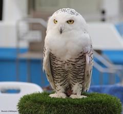 Snow white (Nourah.A.Edhbayah (Super Flower♥إظبيه)) Tags: owl طائر بومه بوم اظبيه عبدالله نوره edhbayah abdullah nourah white snow