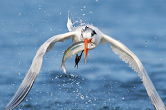 Catch of the day! (bmse) Tags: canon 7d2 400mm f56 l bmse salah baazizi wingsinmotion elegant tern bolsa chica fish fishing