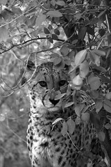 Aloha (nyanc) Tags: aloha cheetah hidden bushes blackandwhite bw blackwhite monochrome animal jachtluipaard jager carnivoor carnivore d5200 dier europe flickr nikon nature outdoor travel z