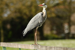Simon the grey Heron (Barry Miller _ Bazz) Tags: heron bird wildlife fish catcher big grey victoria park widnes cheshire england outdoor photography canon 5d mark3 300mm f4l lens