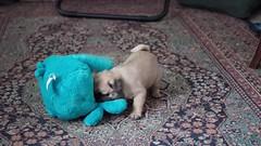 2017.02.18-10.05.20 (Pak T) Tags: dog em1 olympus olympusmzuiko25mmf18 penelope pug puppy stuffedanimal stuffedtoy video