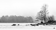 Uutela (Timo Leppäharju) Tags: joutsen kallvik kyhmyjoutsen lumi meri uutela