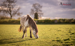 Evening snack (AnthonyCNeill) Tags: horse pferd cheval caballo animal pony outdoor countryside field eating grass sunset nikon d750 primelens