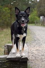 Fili (mikros.anthropos) Tags: fili dog hund crossbreed mix mutt mischling tier animal husky australianshepherd bordercollie hollandseherder nikond3300 outdoor berlin wuhlheide