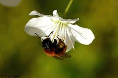 Les fleurs sont jolies, dès que le printemps revient 06 (1 sur 1) (letexierpatrick) Tags: botanique bee butinage blanc blanche fleurs flowers fleur floraison flower france jardin nikon nature nikond7000 insecte bokeh printemps