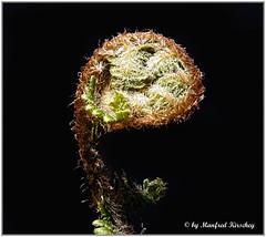 Farn entrollt sich / Fern unrolls (no monster) (manfredkirschey) Tags: farn natur nature pflanze