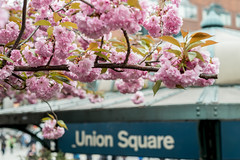 Cherry Blossom in New York Park (FourteenSixty) Tags: cherryblossom newyork nyc park unionsquarepark unionsquare unionsquarestation manhattan b