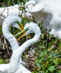 ain't love grand (wesleybarr1962) Tags: egrets highisland texas