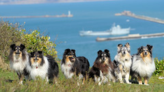 Sheltie Tease (Sheltie World) Tags: portlandbill weymouth shelieworld shetlandsheepd onlineshelties sheltiestories crazygang portait coastline