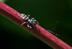 Araignée - Spider (pablo 2011) Tags: collectionnerlevivantautrement ngc nikonflickraward nikonpassion nikond7000 toulouse nature macro insecte insect araignée spider