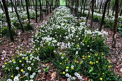 Dandelion Rows....6O3A8292_3_4_tonemappedA (dklaughman) Tags: dandelion trees lewes delaware photomatix hdr bestofhdr