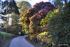 Kilmacurragh Botanic Gardens. (mcgrath.dominic) Tags: rhododendrons trees botanicgardens cowicklow kilmacurragh